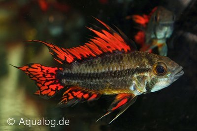 APISTOGRAMMA CACATUOIDES DOUBLE RED - Dubbelrode kakadu dwergcichlide