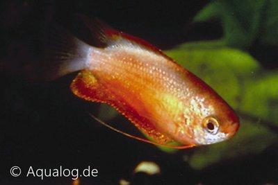 COLISA LABIOSA RED - Rode diklipgouramie