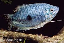 TRICHOGASTER TRICHOPTERUS BLUE - Blauwe gouramie